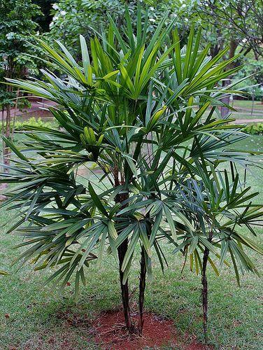 palmeira ráfia - jardim com palmeira ráfia