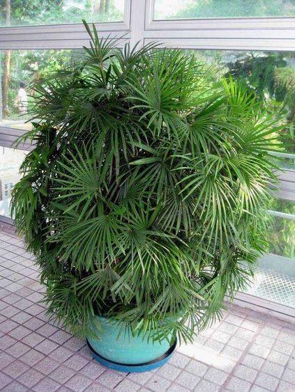 palmeira ráfia - palmeira ráfia com muitas folhas