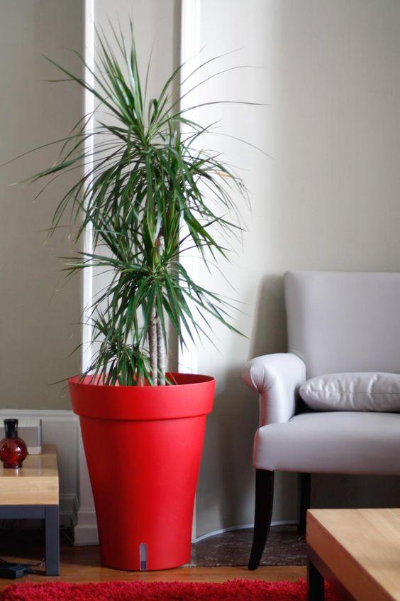 palmeira ráfia - palmeira ráfia com vaso vermelho