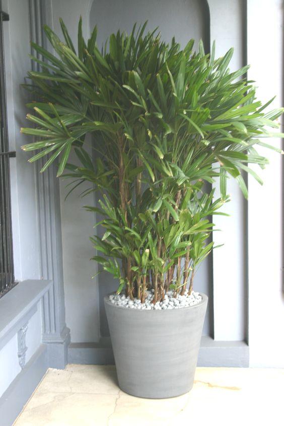 palmeira ráfia - palmeira ráfia em cachepot cinza
