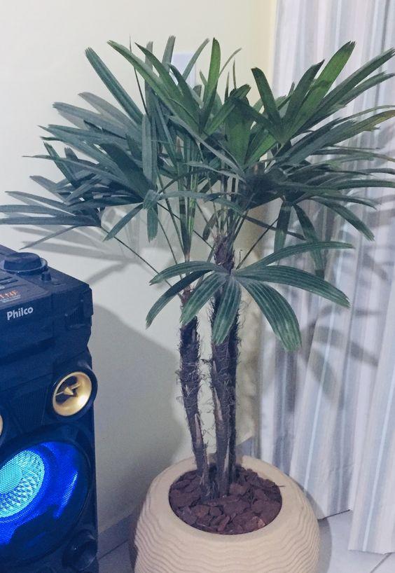palmeira ráfia - palmeira ráfia em cachepot de barro