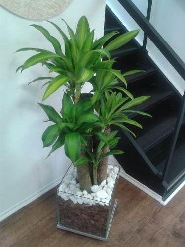 palmeira ráfia - palmeira ráfia em cachepot de vidro