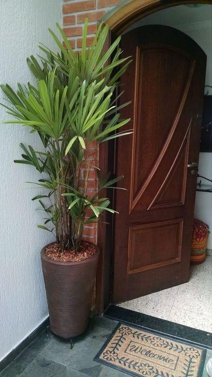 palmeira ráfia - palmeira ráfia em frente de porta