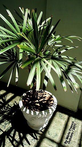 palmeira ráfia - palmeira ráfia em vaso branco
