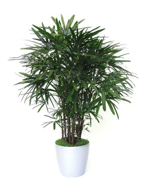 palmeira ráfia - palmeira ráfia em vaso branco circular