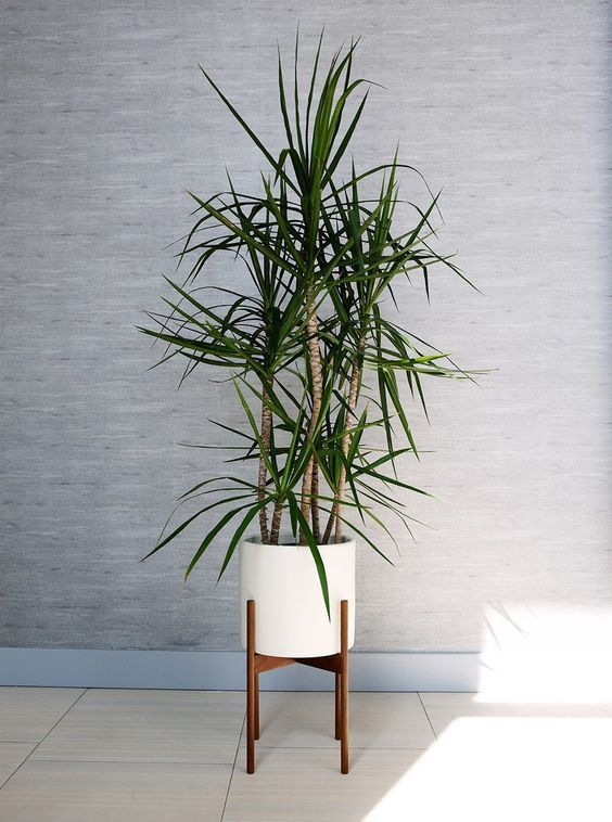 palmeira ráfia - palmeira ráfia em vaso branco circular em suporte