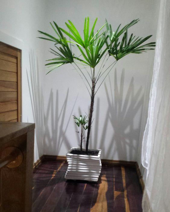 palmeira ráfia - palmeira ráfia em vaso branco diferente