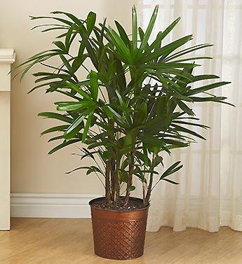 palmeira ráfia - palmeira ráfia em vaso de cobre