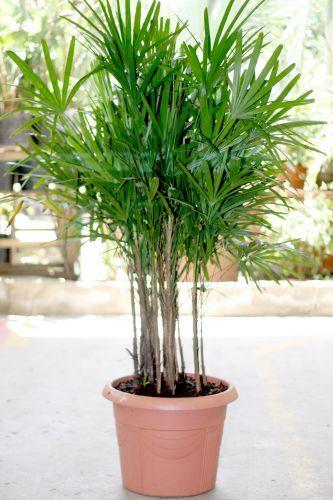 palmeira ráfia - palmeira ráfia em vaso de plastico