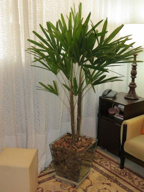 palmeira ráfia - palmeira ráfia em vaso de vidro