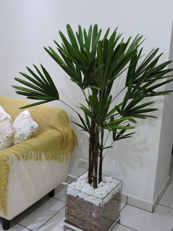 palmeira ráfia - palmeira ráfia em vaso de vidro com pedras brancas