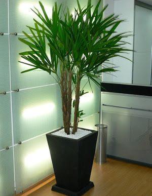 palmeira ráfia - palmeira ráfia em vaso grande
