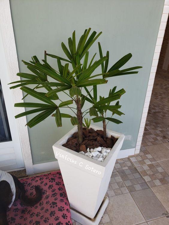 palmeira ráfia - palmeira ráfia em vaso grande de pedra