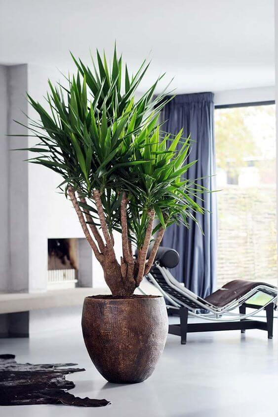 palmeira ráfia - palmeira ráfia em vaso marrom