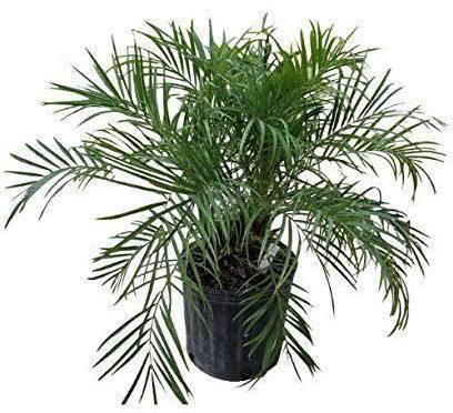 palmeira ráfia - palmeira ráfia em vaso preto