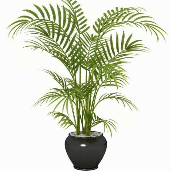 palmeira ráfia - palmeira ráfia em vaso preto circular