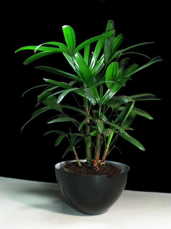 palmeira ráfia - palmeira ráfia em vaso preto circular simples