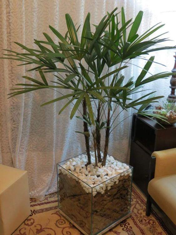 palmeira ráfia - palmeira ráfia em vaso quadrado de vidro
