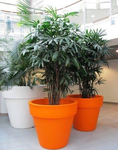 palmeira ráfia - palmeira ráfia em vasos laranjas