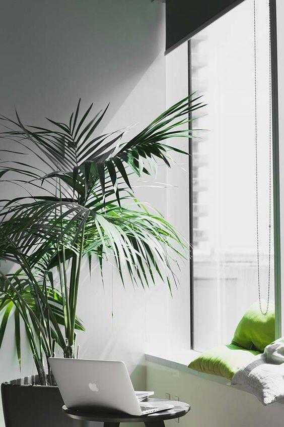 palmeira ráfia - palmeira ráfia grande em sala