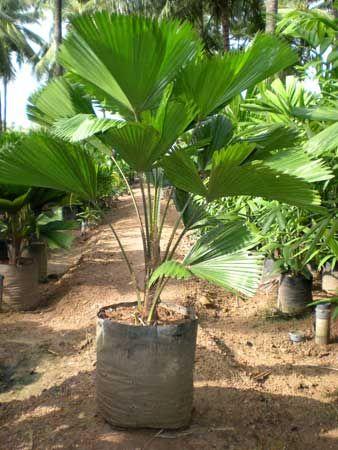 palmeira ráfia - palmeira ráfia pronta para plantação