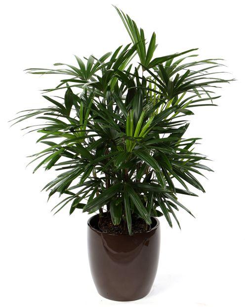 palmeira ráfia - palmeira ráfia simples