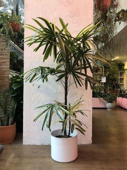 palmeira ráfia - palmeira rafia em vaso branco simples