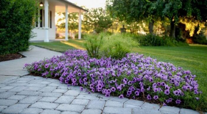 Flores de petúnia cultivadas em jardim