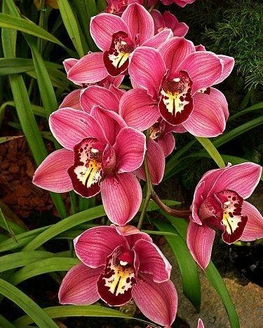 cymbidium - orquídea cymbidium roxa