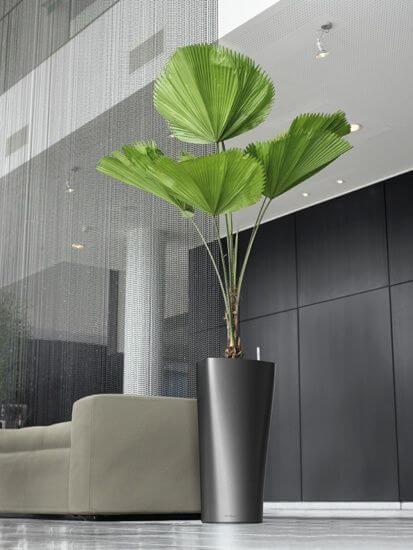 Palmeira leque na sala moderna