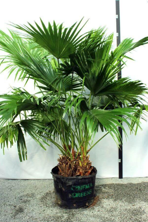 Palmeira leque da china para plantar