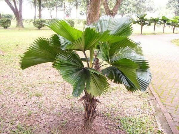 Palmeira leque da china no jardim