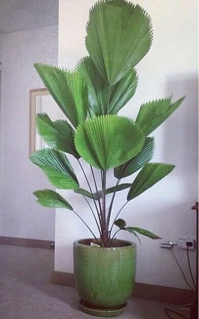 Palmeira leque na decoração de casa