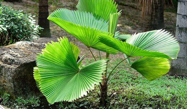 Palmeira leque no jardim de casa