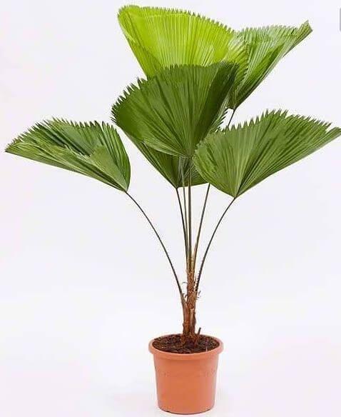 A palmeira de leque precisa de sol para crescer saudável