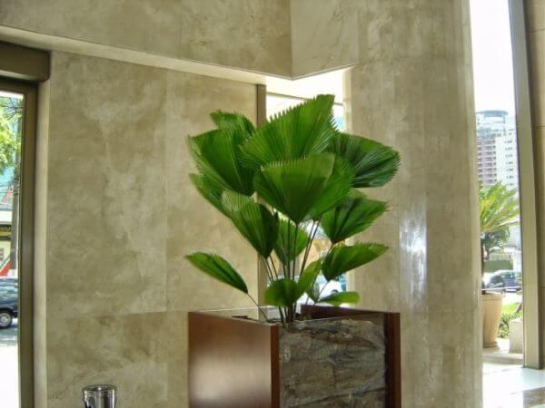 Palmeira leque na entrada de casa