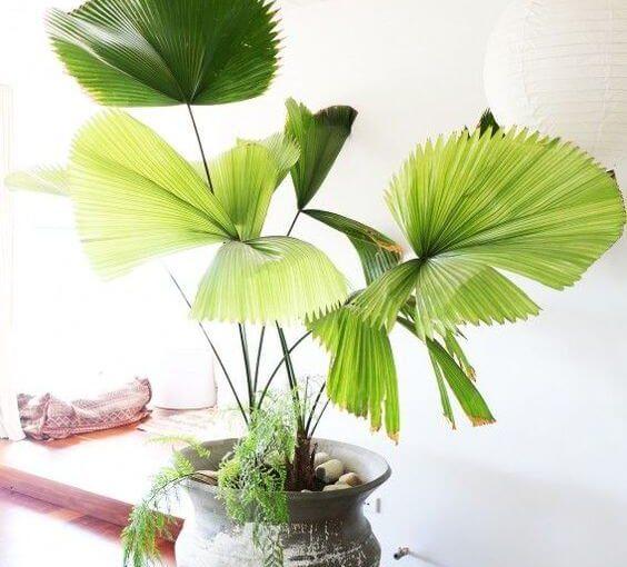 Palmeira Leque: Como Cuidar, +50 Tipos para Decorar sua Casa