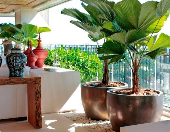 Palmeira leque grande na varanda
