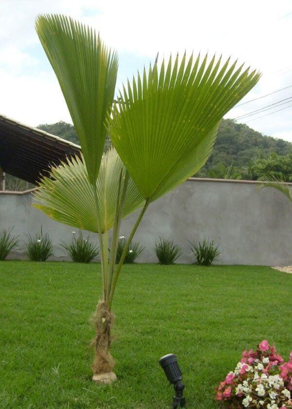 Jardim com palmeira de leque