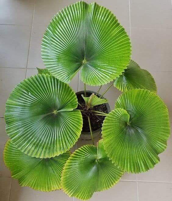 Palmeira leque em vaso para decorar a sala de estar