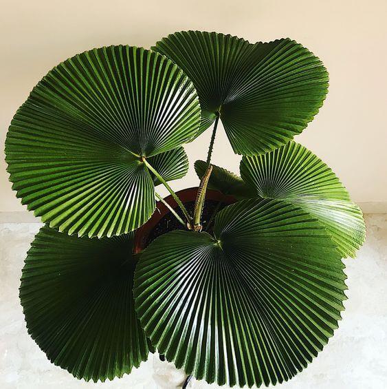 Use a palmeira de leque para decorar sua casa