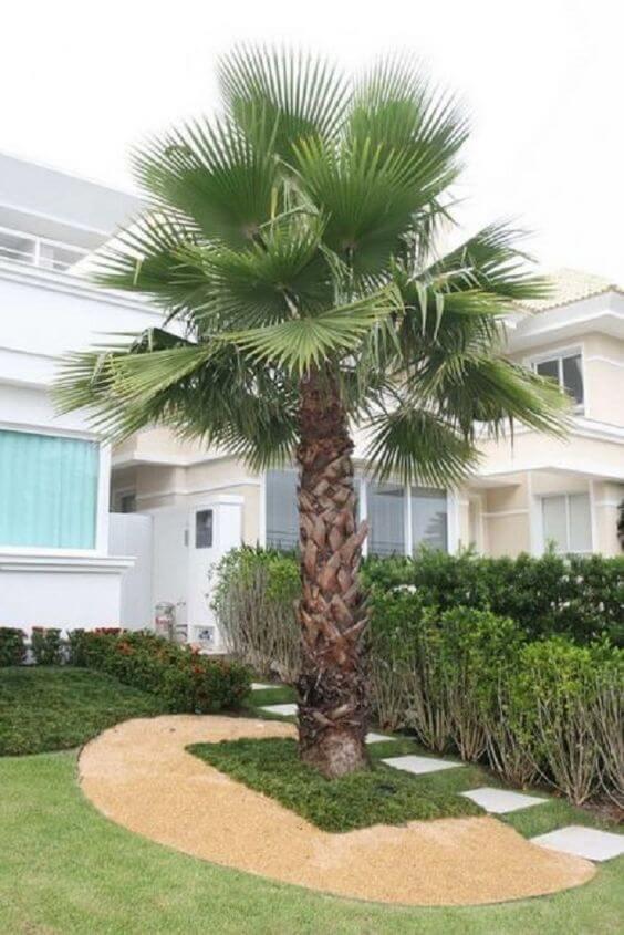 Palmeira leque no jardim