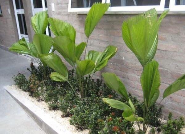 Use os diferentes tipos de palmeiras leque para decorar seu jardim