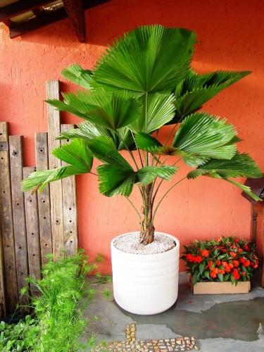 Vaso com palmeira leque na varanda