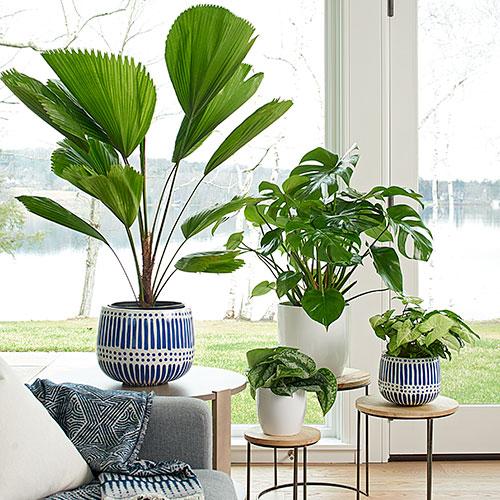Vaso de plantas como palmeira leque