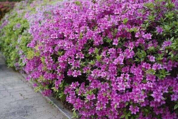 Jardim com azaleia, uma linda flor roxa
