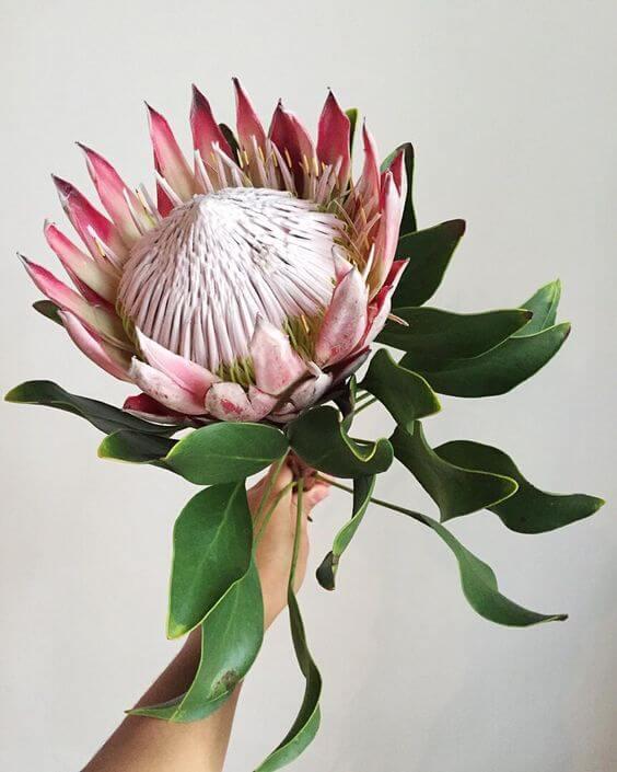 A Protea pode ter tamanhos gigantes