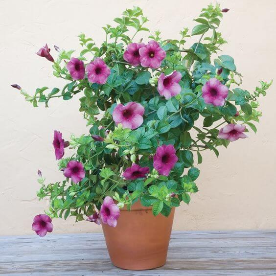 Alamanda flor roxa