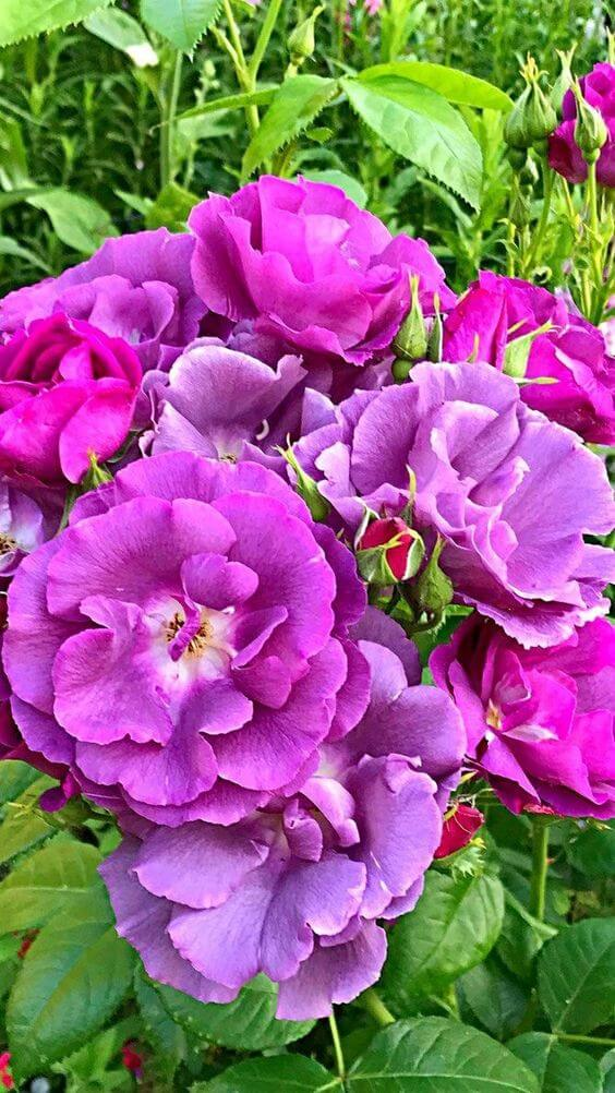 Flor roxa no jardim de casa