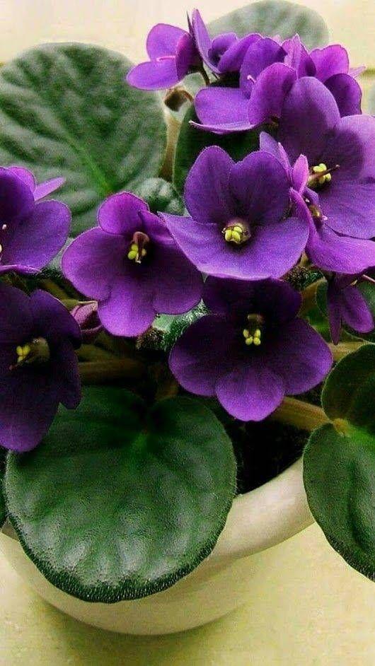 flor roxa violeta no vaso branco para decoração em casa